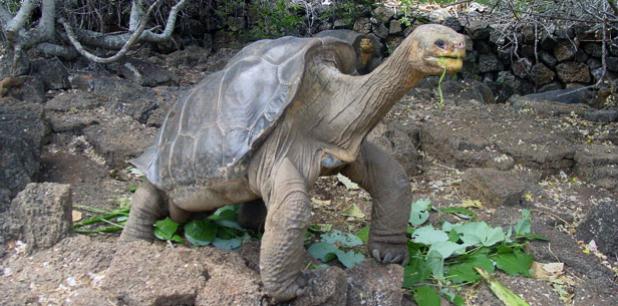 Llega a Nueva York Solitario George, la última tortuga gigante de Galápagos