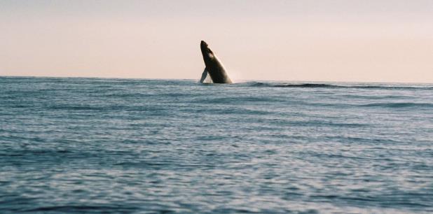La presencia de estas ballenas en aguas de Puerto Rico crea una curiosidad entre el humano que pudiese poner en peligro su vida y la de su cría. (Archivo)