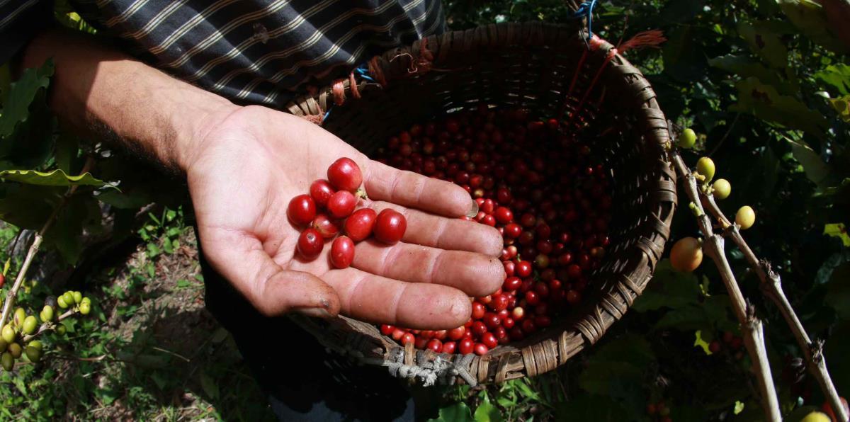 Legislan el Día del Café en Puerto Rico