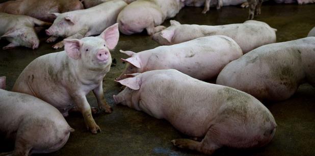 En la Isla se venden unas 222 millones de libras de carne de cerdo al año, según Rodríguez. (Archivo)
