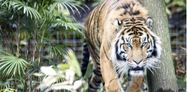 El tigre no será sacrificado. (Archivo)
