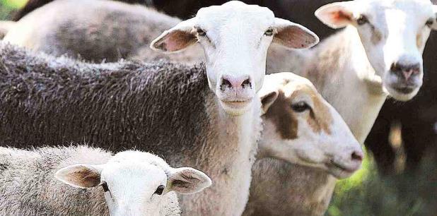 El hurto de las ovejas ocurrió a las 3:32 p.m. del martes en unos terrenos presuntamente pertenecientes a la Autoridad de Tierras. (archivo)