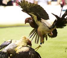Senado Federal le dice no a las peleas de gallos en Puerto Rico