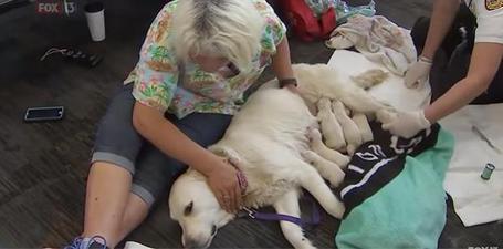 Una perra pare a 9 cachorros en pleno aeropuerto de Tampa