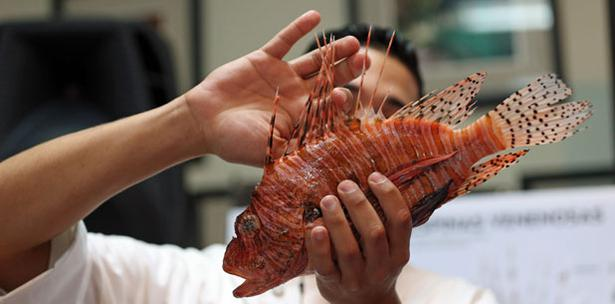 Fomentan Consumo De Pez León En Restaurantes Puertorriqueños