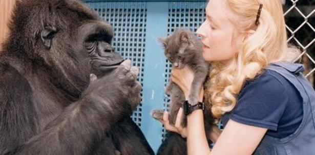 Resultado de imagen para koko gorila