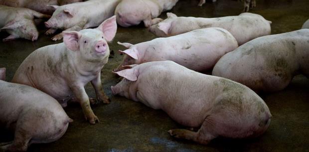 ¡Nos comimos todo el cerdo local!
