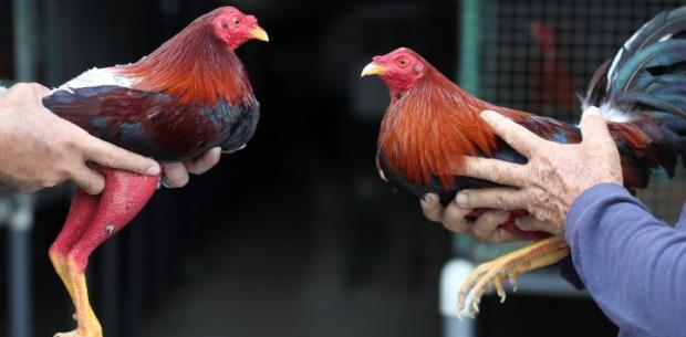 Cámara radica Amigos de la Corte ante la prohibición de peleas de gallos